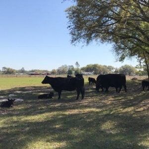 Angus Cattle Breeding at Daystar Farms