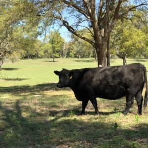 Angus Cattle at Daystar Farms