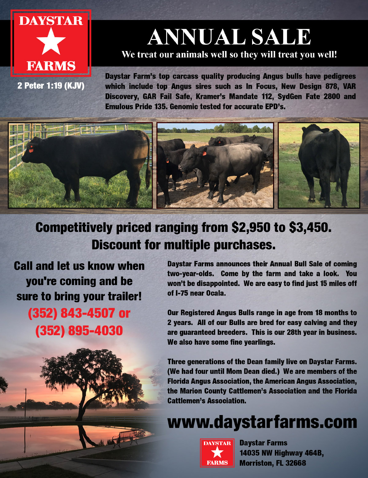 Angus Cattle For Sale – Daystar Farms